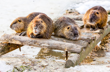 Group Of Beavers