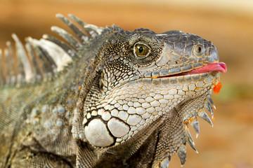 Funny Iguana Lizard