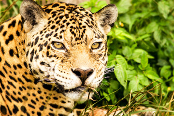 Wild Attentive Jaguar Headshot