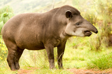 Female Tapir Wild Animal