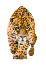 Wild Jaguar Cat Isolated On White