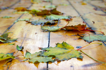 Selective focus on autumn maple leaves with shallow depth of fie