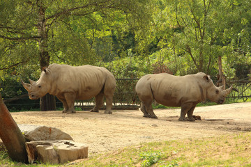 Pair of white rhinoceros (square-lipped rhinoceros) standing on