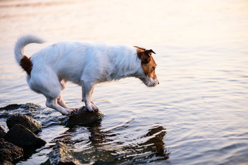 Dog at beach standing on stone looking into water for fish