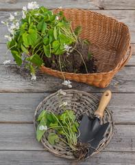 Viola odorata  on wooden table next to a garden shovel