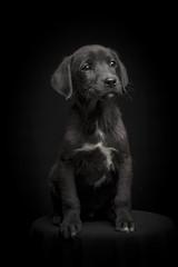 Perro negro retrato