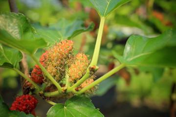 Mulberry on tree
