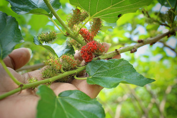 Mulberry tree with hand