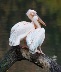 Pair of great white pelican