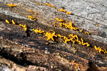 calocera cornea fungus