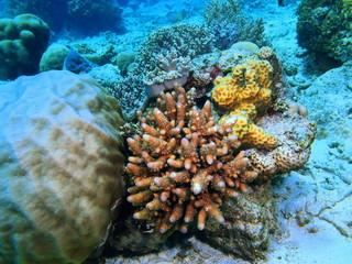 Stone coral, Island Bali