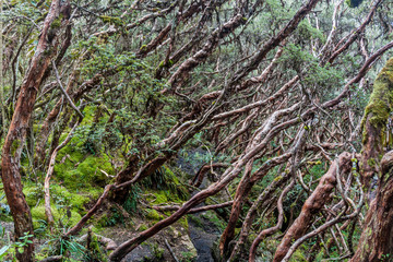 Forest of Polylepis trees in National Park Cajas, Ecuador