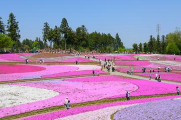 Shibazakura (Moss Pink) Hill at Hitsujiyama Park in Chichibu, Saitama, Japan