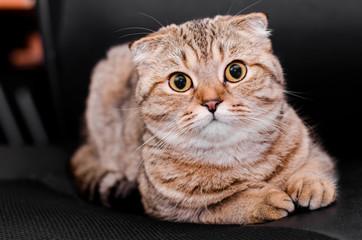 Scottish Fold cat tabby on a black background.