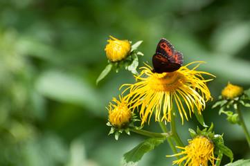 Arran brown butterfly (Erebia ligea) inspecting a flower