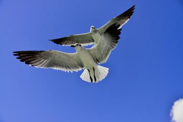 Seagull at flight
