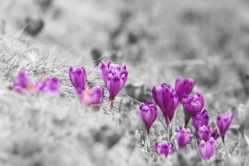 abstract view of spring crocuses