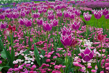 Beautiful tulips flowers background