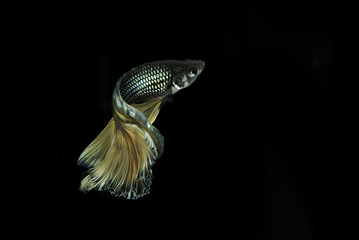 Long tail Siamese fighting fish dancing on black background