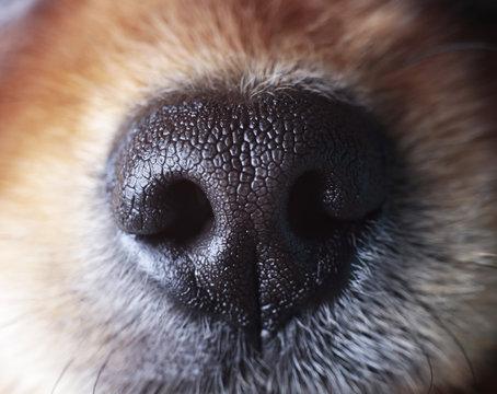 sensitive nose of a dog
