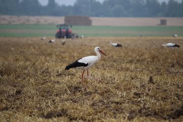 Fotoväggar - Storch auf einem Feld