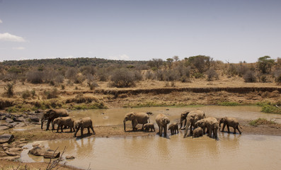 African Elephant come to a river to drink