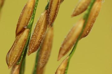 Rice seeds close up