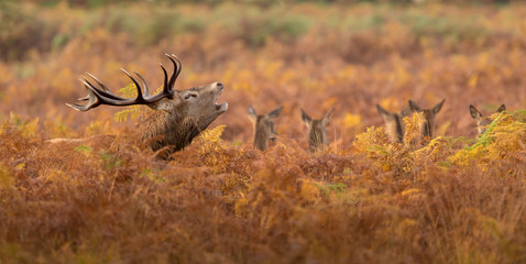 Wall Mural - Large red deer stag standing calling in the autumn bracken one autumn morning