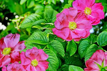 Landscape, flower rosehip