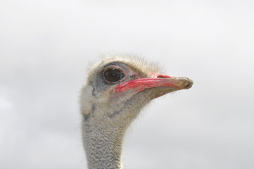 Ostrich. Head of african ostrich male Struthio camelus