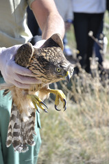 Veterinarian showing a young goshawk (Accipiter gentilis) after being rescued. People watching the scene.