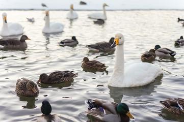 Water birds in the winter pond