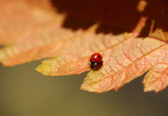 ladybug on golden leaf