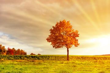 Baum im Herbst, in warmen Licht