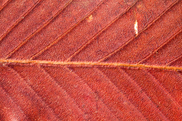 Abstract pattern of autumn leaf. Red color.