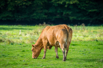 Cow alone on grass