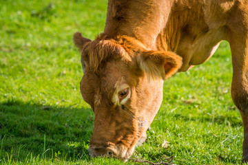 Close-up of a grazing cow