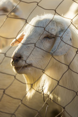 Goat behind the fence
