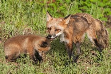 Red Fox Vixen (Vulpes vulpes) and Kit
