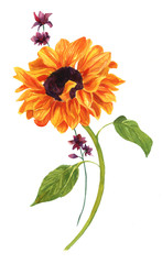 Watercolor drawing of golden sunflower with green leaves on white backround