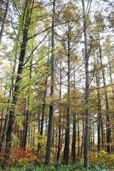 カラマツ林/秋のカラマツ林です