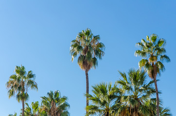 sunlit group of palm trees in front of a clear blue sky