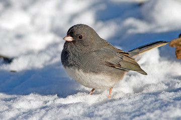 Male Dark-eyed Junco in the snow