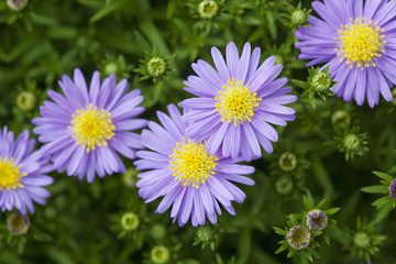 Aster microcephalus