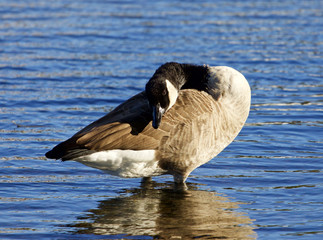 Beautiful Canada goose is cleaning his feathers