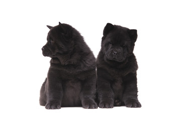 Wall Mural - chow-chow black puppies