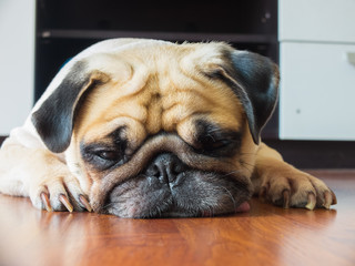 Close-up face of Cute pug puppy dog rest by chin and tongue lay down on laminate floor and look to ground