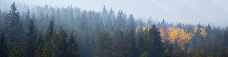 panoramic shot of mysterious misty pine tree forest with yellow spot