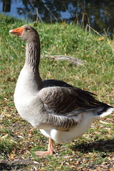Domestic goose on gras - Hausgans im Gras