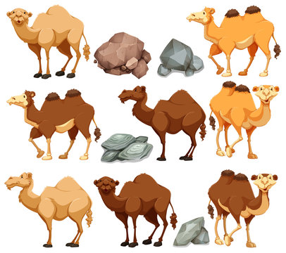 Camel in different poses